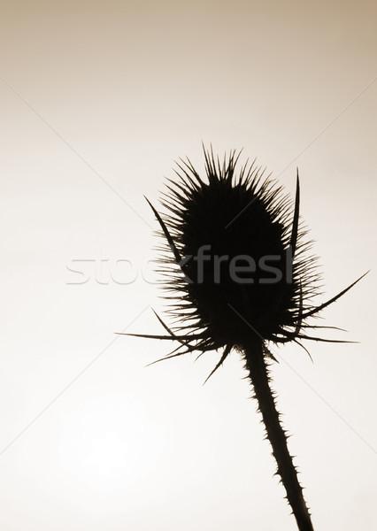 Görüntü geri ışık çiçek doğa siyah Stok fotoğraf © Kirschner