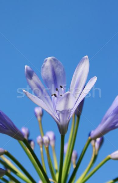 ユリ 咲く 画像 紫色 桜 空 ストックフォト © Kirschner