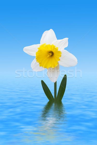 белый Daffodil изображение макроса воды небе Сток-фото © Kirschner