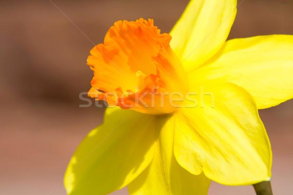 Nergis görüntü makro sarı çiçek doğa Stok fotoğraf © Kirschner