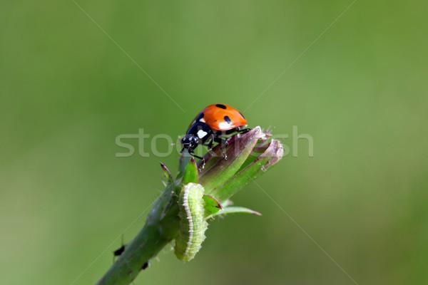 Uğur böceği görüntü makro bitki hayvan böcek Stok fotoğraf © Kirschner