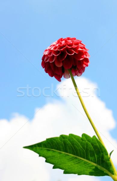 Kırmızı dalya görüntü bulut gökyüzü çiçek Stok fotoğraf © Kirschner