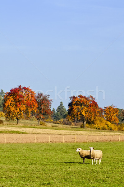 Sheep in fall Stock photo © Kirschner