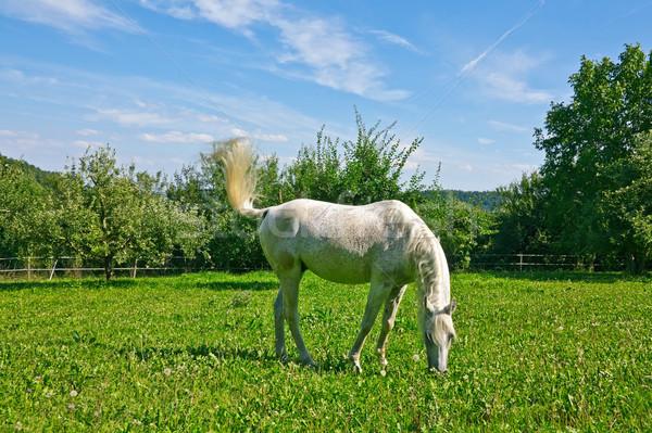 馬 画像 白 雲 木 ストックフォト © Kirschner