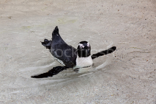 Yüzme penguen görüntü su göz yüz Stok fotoğraf © Kirschner