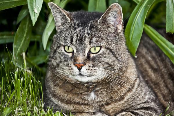 猫 画像 肖像 自然 リラックス 動物 ストックフォト © Kirschner