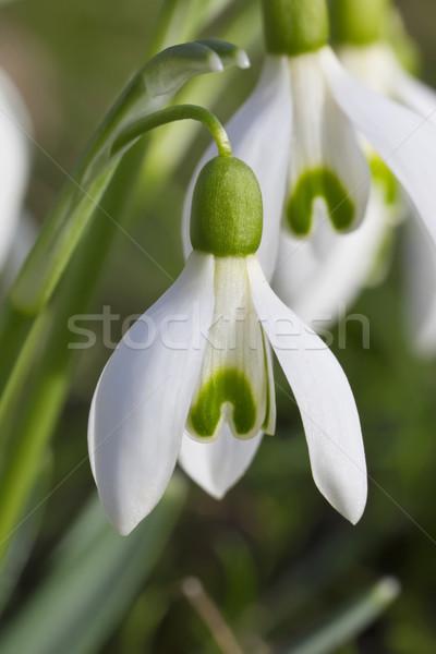 Görüntü makro Paskalya doğa bahçe çiçek Stok fotoğraf © Kirschner