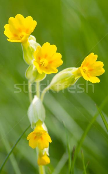 Görüntü makro küçük çiçek doğa bahçe Stok fotoğraf © Kirschner