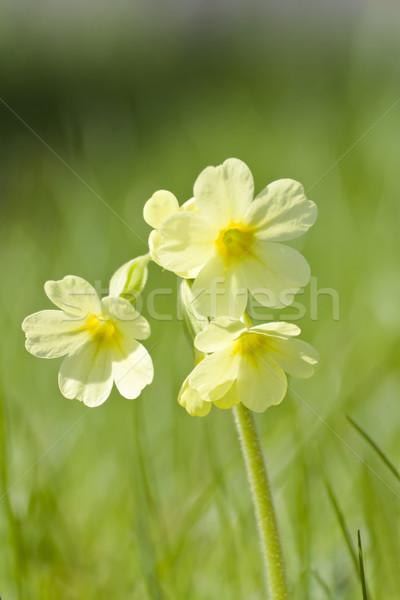 Görüntü makro küçük bahar bahçe model Stok fotoğraf © Kirschner