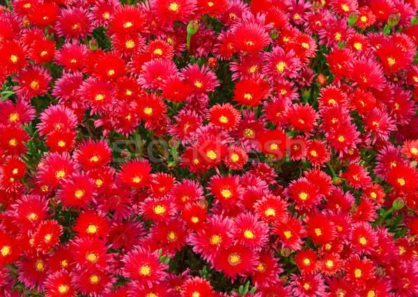 Deniz kırmızı çiçekler görüntü çiçekler çiçek doğa Stok fotoğraf © Kirschner