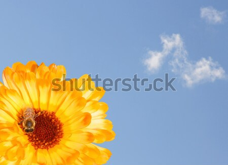 Marigold with Sky Stock photo © Kirschner