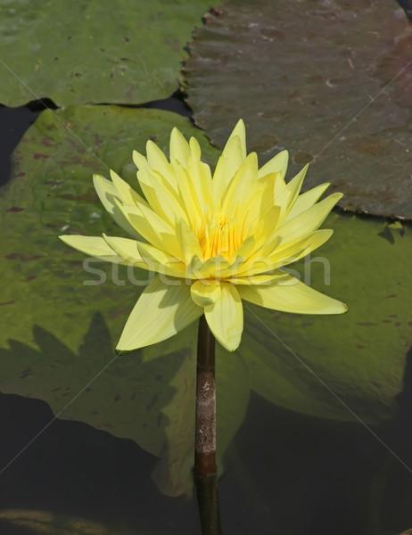 黄色 水 ユリ 画像 花 自然 ストックフォト © Kirschner
