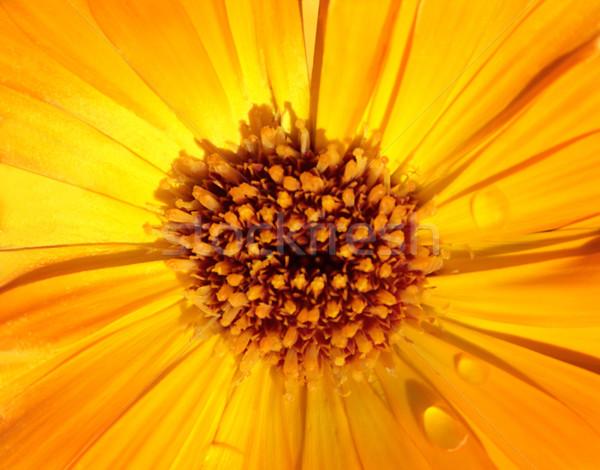 Görüntü makro sarı çiçek bitki yaprakları Stok fotoğraf © Kirschner
