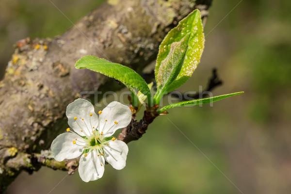 梅 桜 画像 マクロ 咲く 花 ストックフォト © Kirschner
