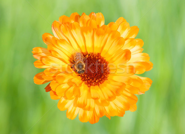 Marigold with Bee Stock photo © Kirschner