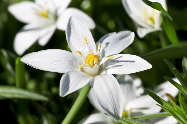 Star of Bethlehem Stock photo © Kirschner