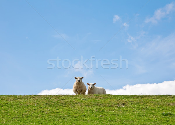 羊 画像 肖像 2 空 草 ストックフォト © Kirschner