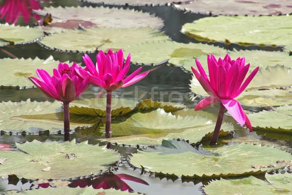 ピンク 水 ユリ 画像 自然 海 ストックフォト © Kirschner