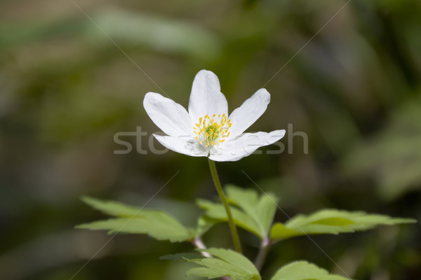 Anemone Stock photo © Kirschner