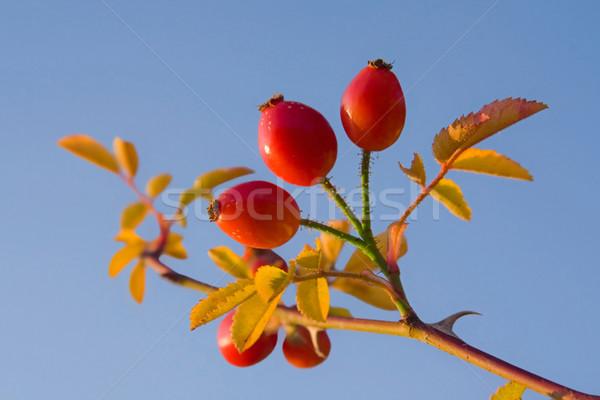 Kırmızı kalça görüntü makro sonbahar cennet Stok fotoğraf © Kirschner