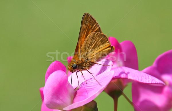 蝶 画像 マクロ 花 自然 動物 ストックフォト © Kirschner
