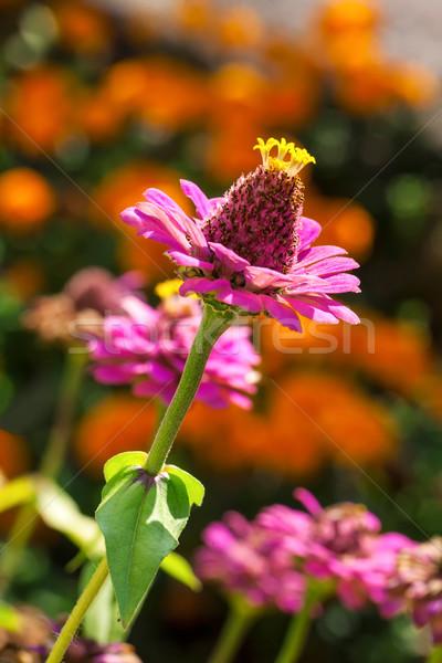 ピンク 画像 マクロ 自然 庭園 黄色 ストックフォト © Kirschner