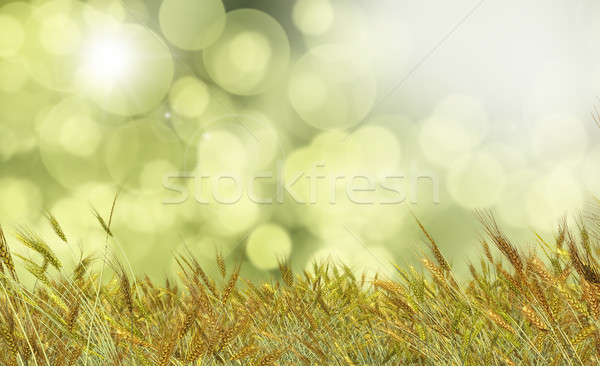 Golden wheat against a defocussed background Stock photo © kjpargeter