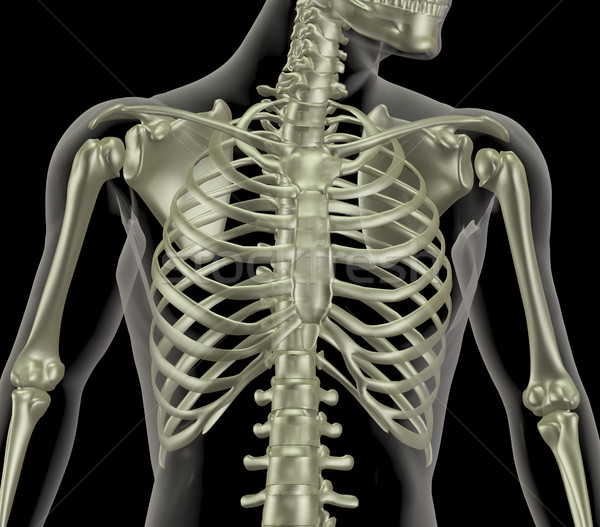 Skeleton showing close up of rib cage Stock photo © kjpargeter