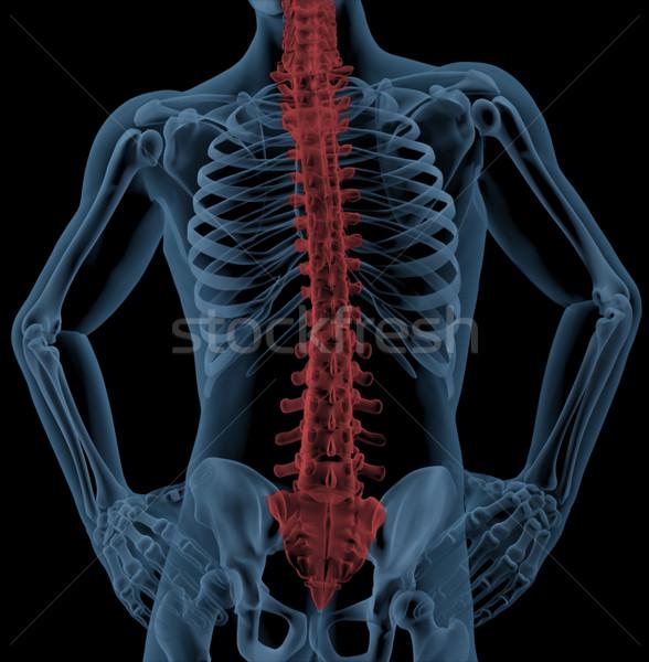 Spine of a medical skeleton Stock photo © kjpargeter