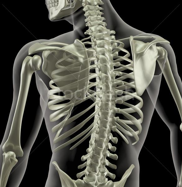 Törzs orvosi csontváz közelkép hát emberi Stock fotó © kjpargeter