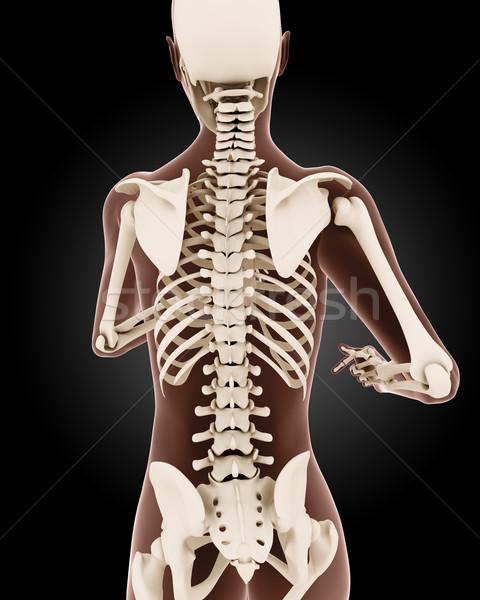 Vrouwelijke medische skelet 3d render Maakt een reservekopie Stockfoto © kjpargeter