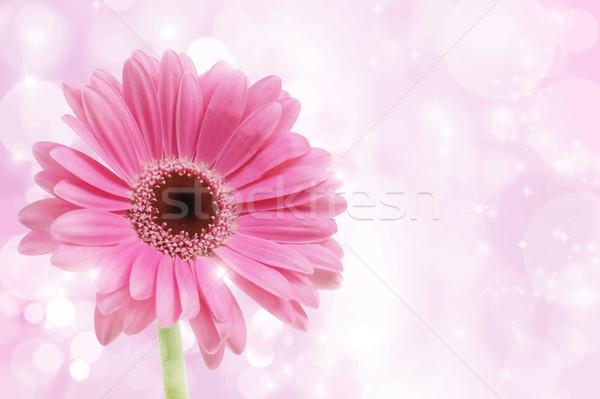 Pink Gerbera Daisy Stock photo © kjpargeter