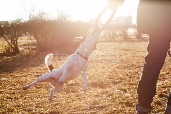 Femme jouer chien jack russell terrier Photo stock © kkolosov