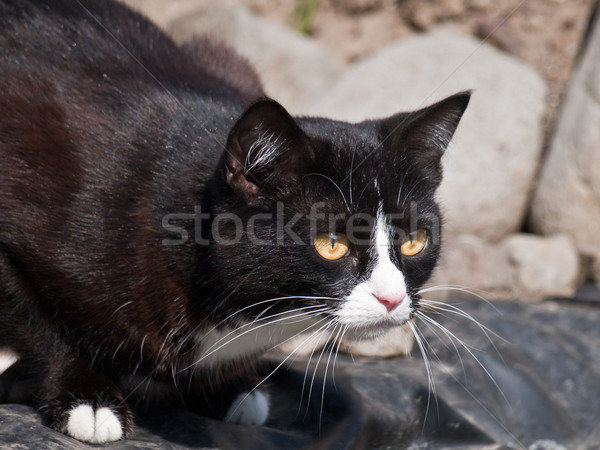 black cat Stock photo © klagyivik