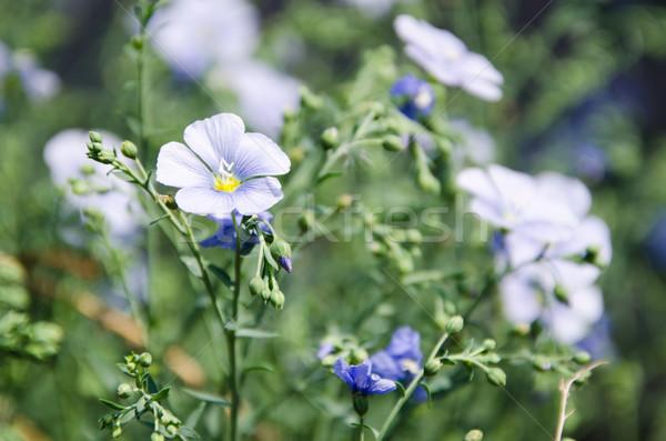 синий цветок Сток-фото © klagyivik