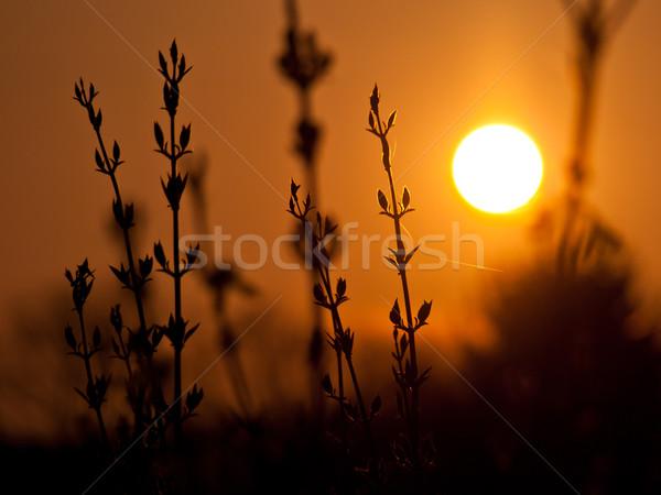 laburnum sunset background Stock photo © klagyivik
