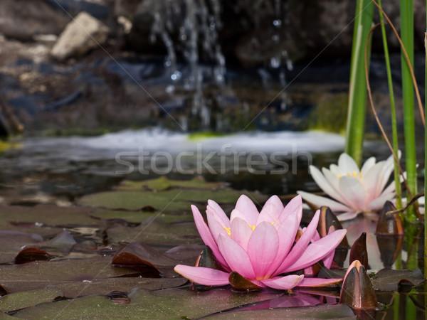 água lírio flor natureza luz folha Foto stock © klagyivik