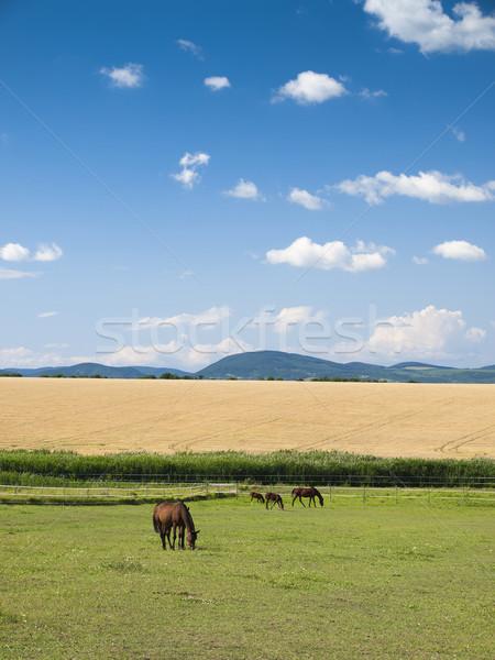 horses on green field Stock photo © klagyivik