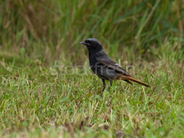 phoenicurus bird Stock photo © klagyivik