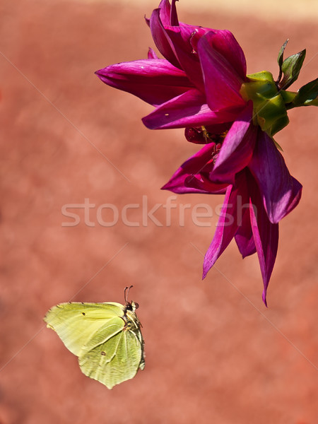 butterfly Stock photo © klagyivik