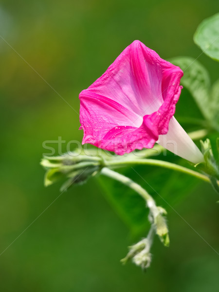 morning glory flower Stock photo © klagyivik