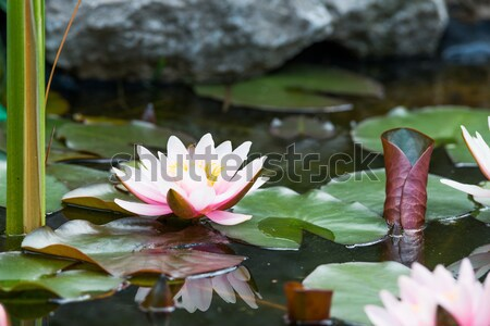 Agua Lily flor naturaleza luz hoja Foto stock © klagyivik