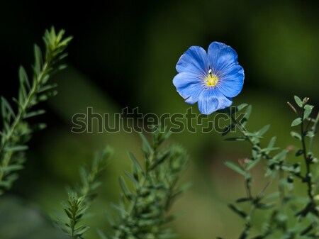 синий цветок зеленый цветок фон белый чистой Сток-фото © klagyivik