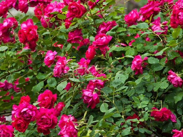 rose bush Stock photo © klagyivik