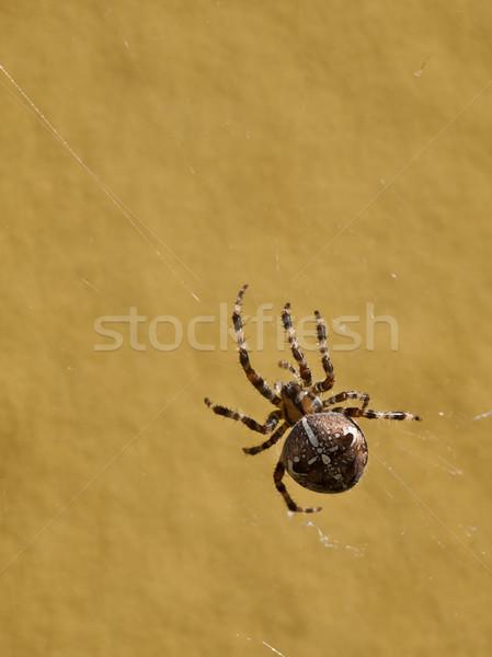 crusader spider Stock photo © klagyivik