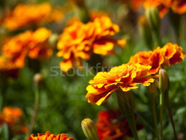marigold flower background Stock photo © klagyivik