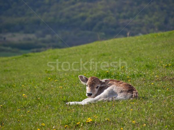 calf background Stock photo © klagyivik