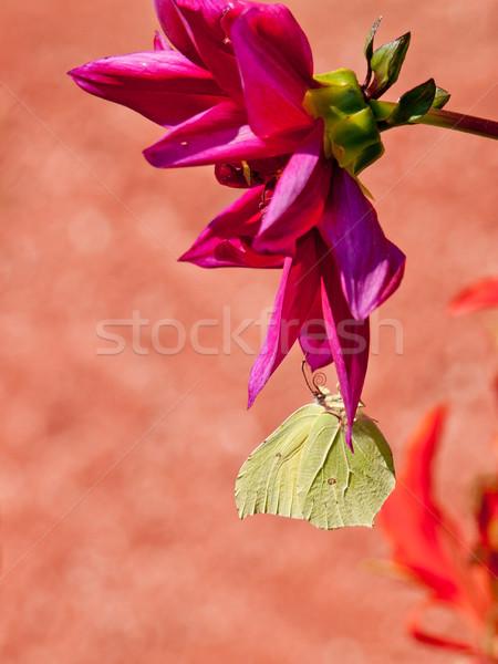 Dalia Motyl kwiat ogród tle głowie Zdjęcia stock © klagyivik