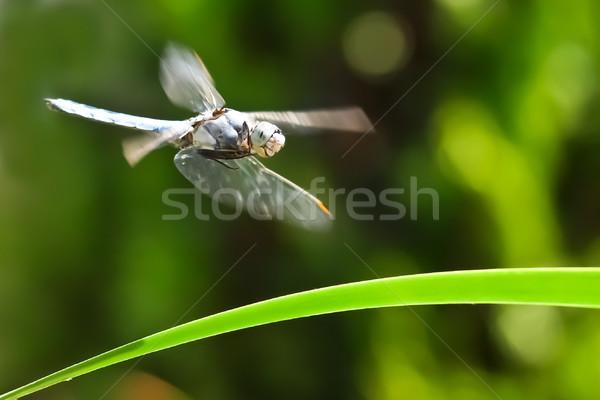dragonfly Stock photo © klagyivik