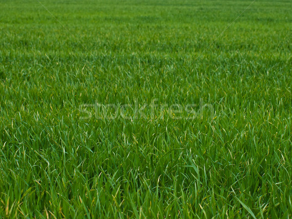 green grass background Stock photo © klagyivik